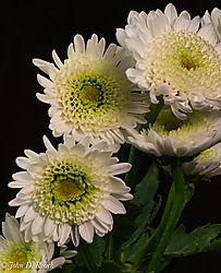 White_Daisies-1.jpg