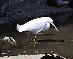 White_Egret.jpg