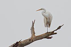 White_Egret4.jpg