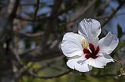 White_Hybiscus.jpg