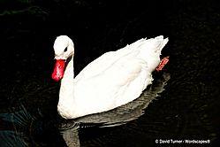 White_Swan2.jpg