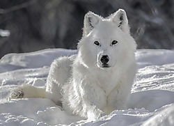 White_Wolf_Discovery_Center_NIK.jpg