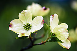White_dogwood_in_front_yard.jpg