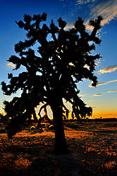 Whole_Joshua_Tree.jpg