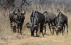 Wildebeest_foraging_1_of_1_.jpg