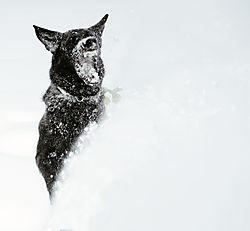Winston_Eating_Snow.jpg