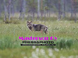 Wolf_8898.jpg