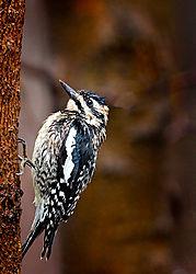 Woodpecker-WEB-.jpg