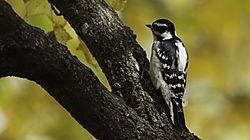 Woodpecker13.jpg