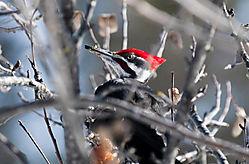 Woodpecker16.jpg