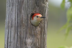 Woodpecker_in_pole_1.jpg