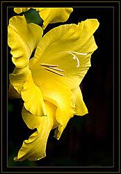 Yellow-Frills.jpg