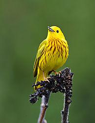 Yellow-Warbler-05-13-1-web.jpg