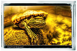 Yellow-bellied_Slider_Turtle.jpg
