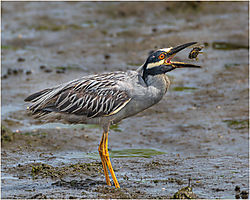 Yellow-crowned_Night-Heron-with-Snack_-John-Straub.jpg