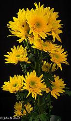 Yellow_Daisies-1.jpg
