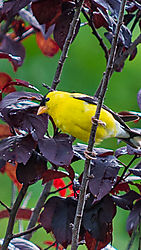 Yellow_Finch_Dacula_GA.JPG