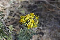 Yellow_Flowers2.JPG