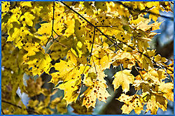 Yellow_Leaves.jpg