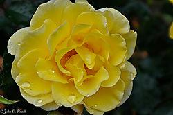 Yellow_Rose4.jpg