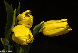 Yellow_Tulips_1.jpg