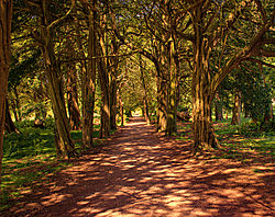Yew_Avenue_Lowther_Castle.jpg