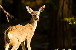 Yosemite_Deer_Fall_2008.jpg