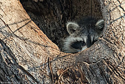 Young-Raccoon3-DNC1918.jpg