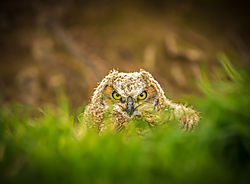 Young_Owl_in_the_Grass-1.jpg