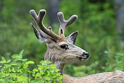 Young_buck_in_profile_682020-1.jpg