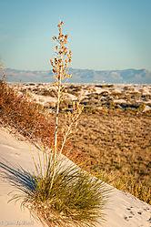 Yucca_Plant.jpg