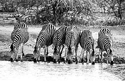 ZEBRA_DRINKING_AT_WATERING_HOLD_MADIKWE_SOUTH_AFRICA_B_W_16_05_2509LR.jpg