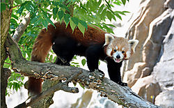 ZOO_RED_PANDA_GRAWL.jpg