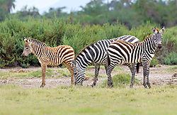 Zebra-2babies_72x1800_DRA8523.jpg
