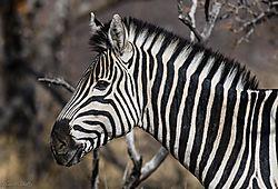 Zebra_stallion_1_of_1_-2.jpg