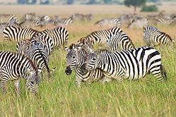 Zebras_72x1800_DRA6671.jpg