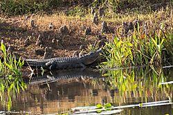 alligator_KP_GBC_Hole_5_-72.jpg