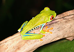 amphibian_frog_red_eyed_tree_6_sarapiqui_CR_11_02_2020.jpg