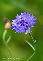 backyard_wild_flower.jpg