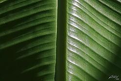 banana_leaf_stripes.jpg