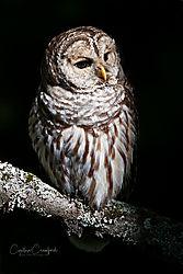 barred_owl2_DSC5563.jpg