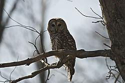 barred_owl_.jpg