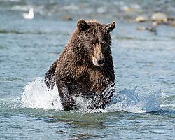 bear_charging-2720-nik.jpg