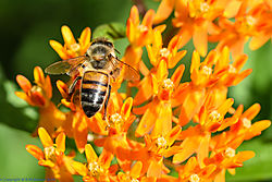bee_on_orange_flower_2.jpg