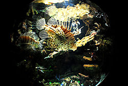 best-lion-fish---2.jpg