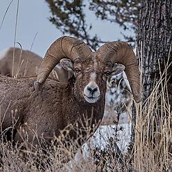 big_horn_sheep-1.jpg