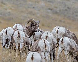 big_horn_sheep-2.jpg