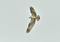 bird_raptor_osprey_2_shapwick_04_09_2020.jpg