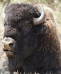bison12.jpg