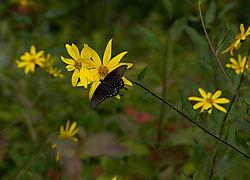 black_Swallowtail.jpg